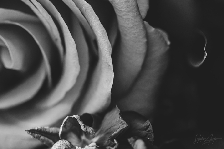 Black-Rose-Signed-sRGB