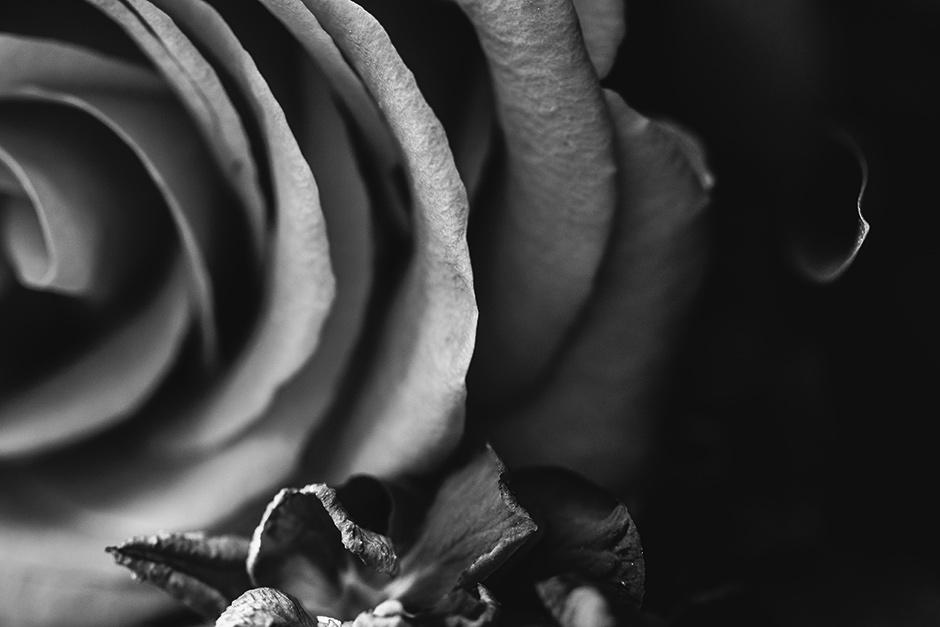 Black-Rose_Web